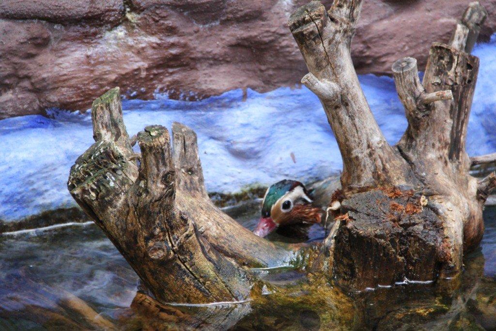 Mandarin ve Pekin Ördeklerimiz