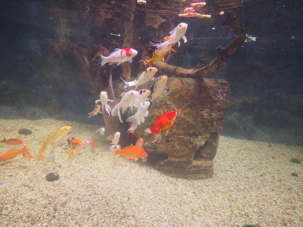 Koi ve Japon Balıklarımız